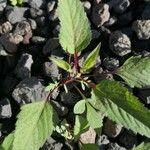 Amaranthus viridis Lehti