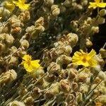 Helianthemum caput-felis