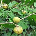 Casearia tacanensis
