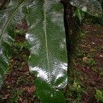 Campyloneurum brevifolium