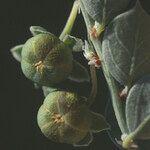 Andrachne telephioides