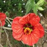 Abutilon striatum