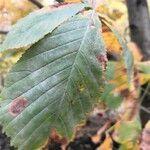 Castanea × neglecta