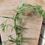 Conyza bonariensis Leaf