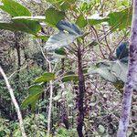Acropogon bosseri