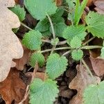 Stachys sylvatica Leaf