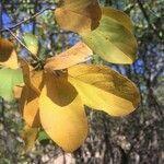 Combretum collinum