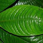 Psychotria alfaroana