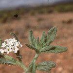 Heliotropium bacciferum