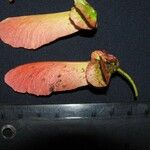 Diplopterys platyptera