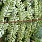 Dryopteris affinis