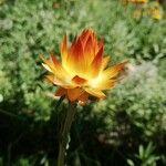 Helichrysum bracteatum 花