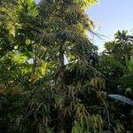 Polyalthia longifolia
