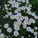 Tanacetum parthenium Kukka
