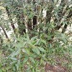 Quercus ilex Hoja