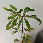 Plerandra elegantissima List