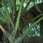 Lodoicea maldivica