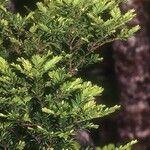 Prumnopitys ferruginoides