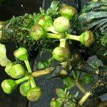 Schefflera pueckleri cv. 'Variegata'