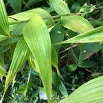 Sobralia macrantha cv. 'Alba'