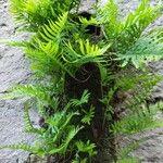 Polypodium cambricum Blad