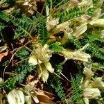 Astragalus genargenteus