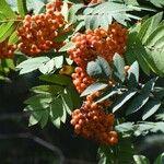 Sorbus aucuparia 果実