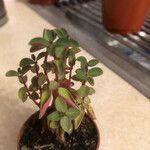 Peperomia verticillata