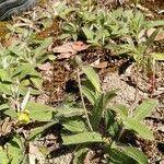Pilosella officinarum Leaf