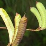 Lennea viridiflora