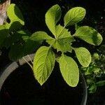 Brassaiopsis