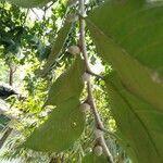 Artocarpus nitidus