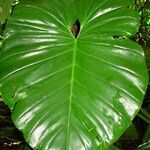 Philodendron pterotum