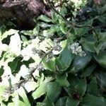 Callisia fragrans