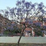 Jacaranda mimosifolia Flor