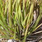 Paspalum pectinatum
