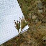 Juncus hybridus