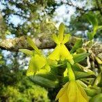 Epidendrum acroamparoanum