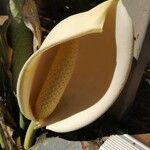 Philodendron tripartitum