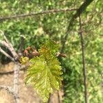 Vitis vinifera Levél