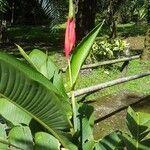 Heliconia wilsonii