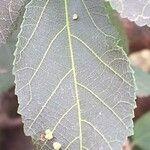 Grewia similis