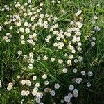 Leucanthemum vulgare Flor