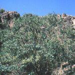 Adenocarpus anagyrifolius