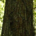 Eriotheca longitubulosa