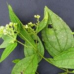 Clibadium leiocarpum