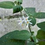 Solanum americanum