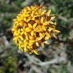 Quinchamalium chilense