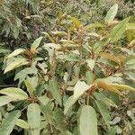 Croton gratissimus Leaf