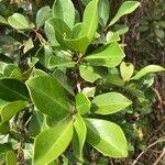 Psidium cattleianum Leaf